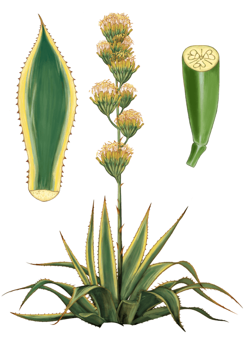 Botanical / Illustration von Agavendicksaft