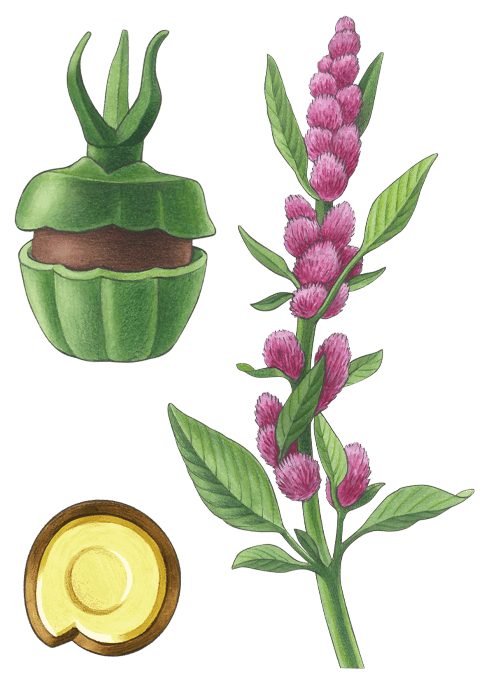 Botanical / Illustration von Amaranth