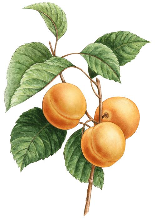 Botanical / Illustration von Fruchtliebe Aprikose 75%