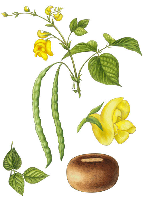 Botanical / Illustration von Azukibohnen