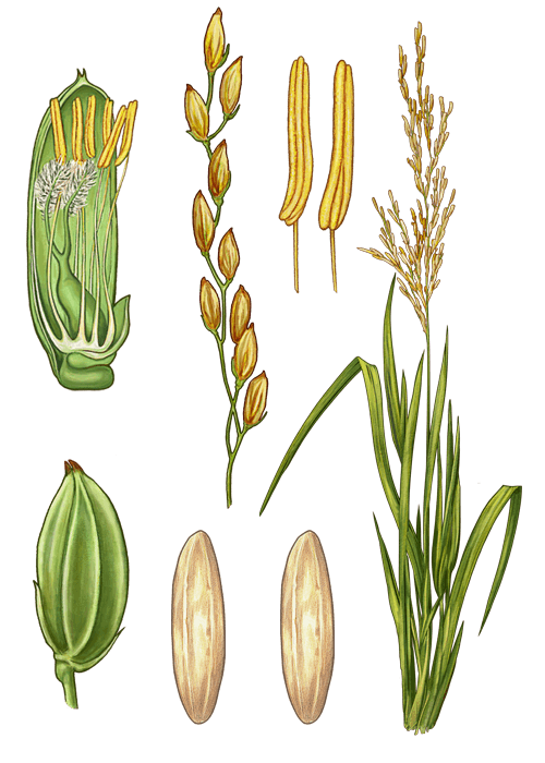 Botanical / Illustration von Basmatireis