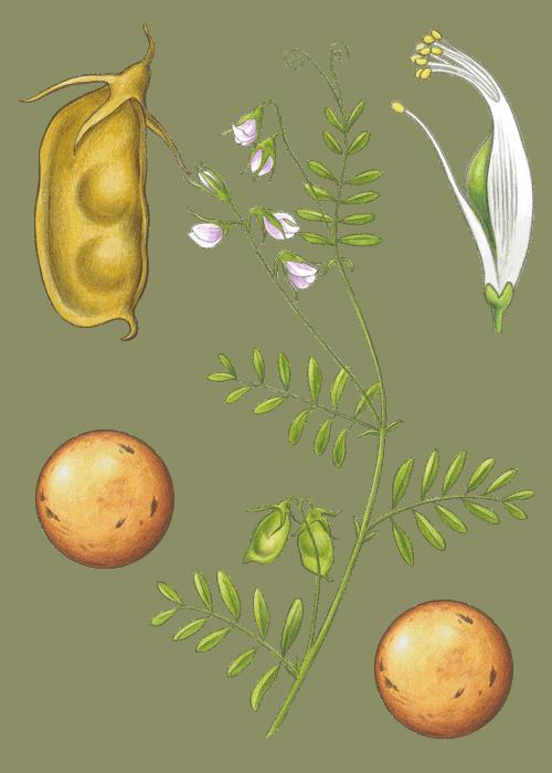 Botanical / Illustration von Berglinsen