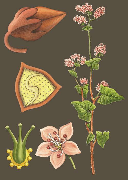 Botanical / Illustration von Buchweizen
