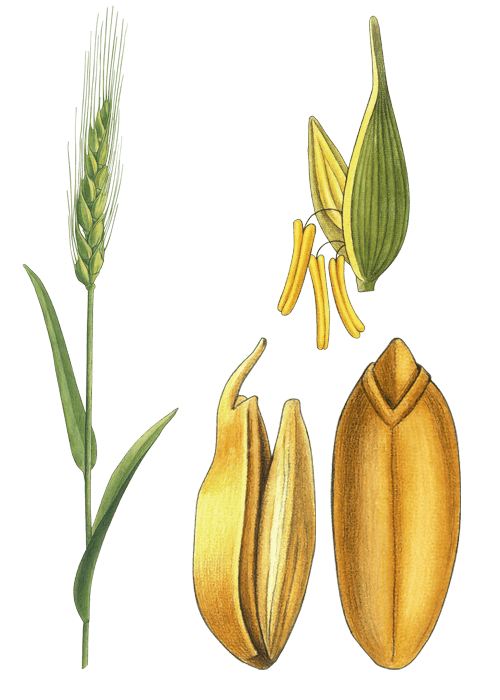 Botanical / Illustration von Bulgur