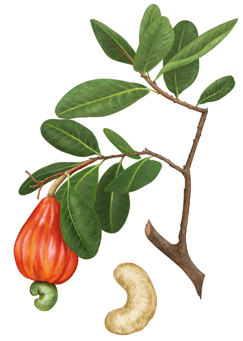 Botanical / Illustration von Cashewkerne