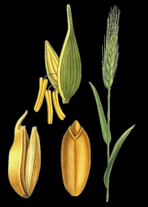 Botanical / Illustration von Couscous