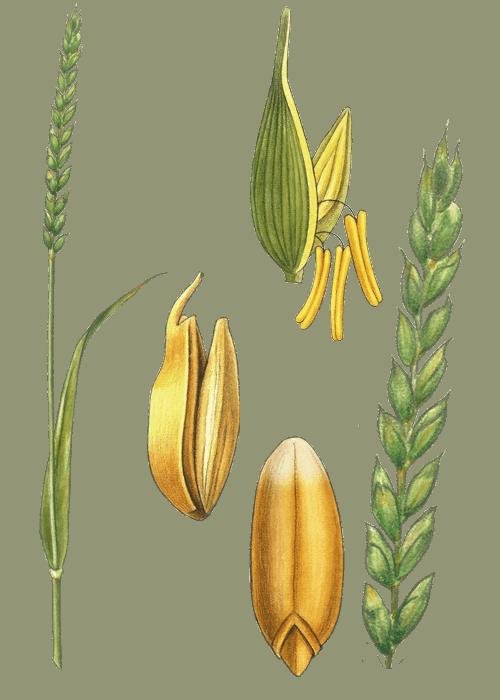 Botanical / Illustration von Dinkel