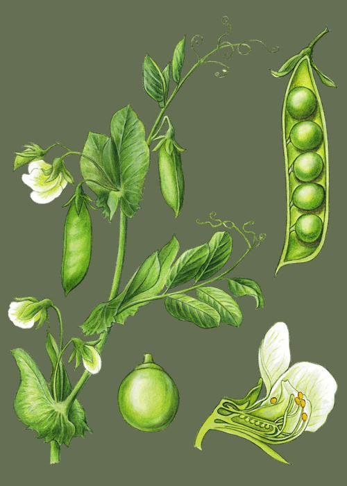 Botanical / Illustration von Kichererbsen