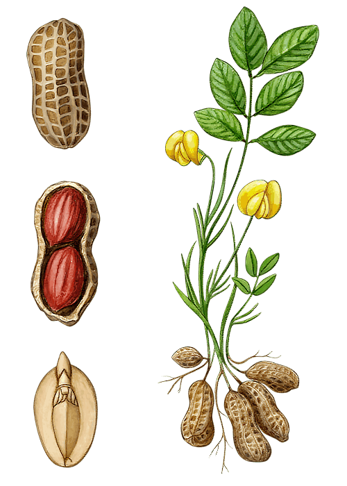 Botanical / Illustration von Erdnusskerne