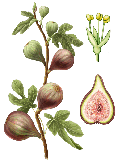 Botanical / Illustration von Sommer Feigen