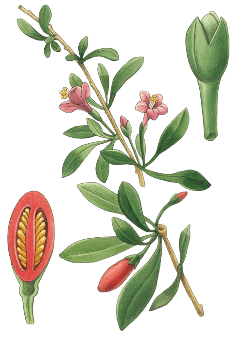 Botanical / Illustration von Gojibeeren