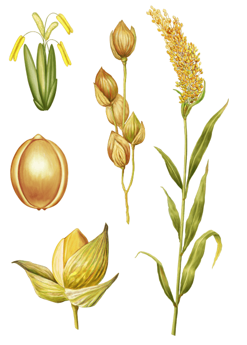 Botanical / Illustration von Goldhirse