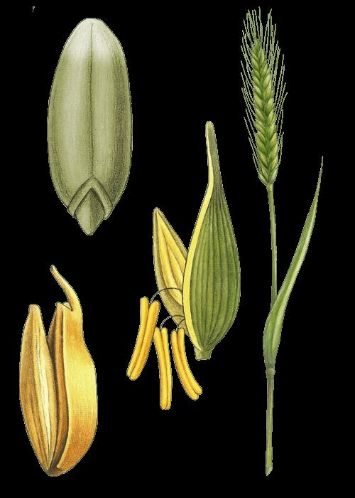 Botanical / Illustration von Grünkernschrot