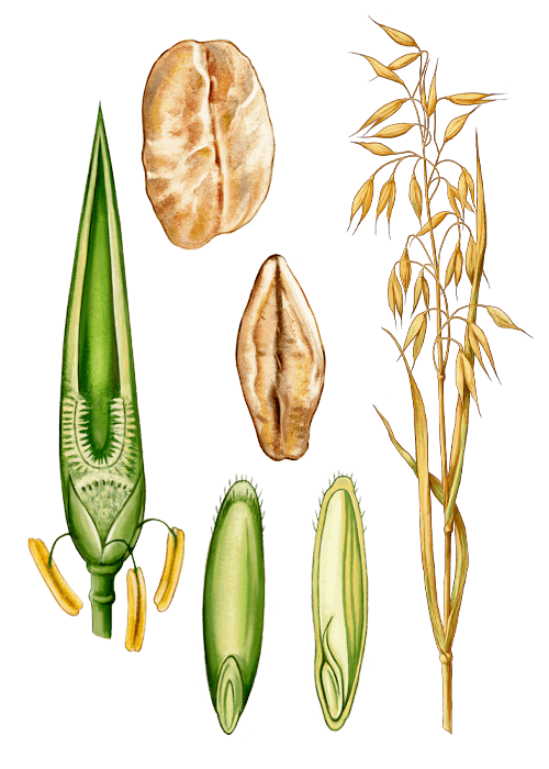 Botanical / Illustration von Hafergold