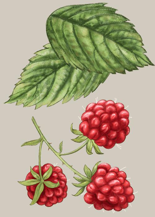 Botanical / Illustration von Fruchtliebe Himbeere 75%