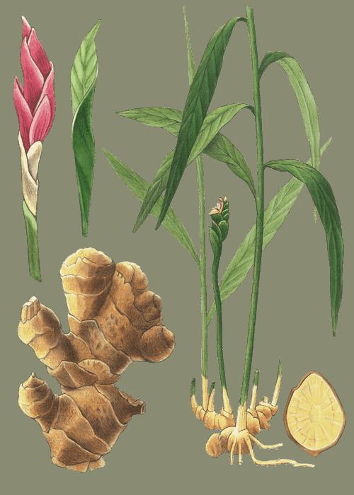 Botanical / Illustration von Ingwerwürfel