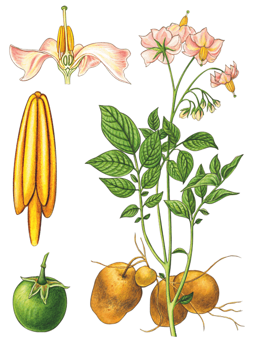 Botanical / Illustration von Knödel