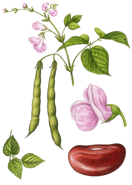 Botanical / Illustration von Kidneybohnen