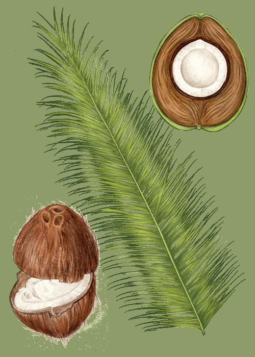 Botanical / Illustration von Kokosraspeln
