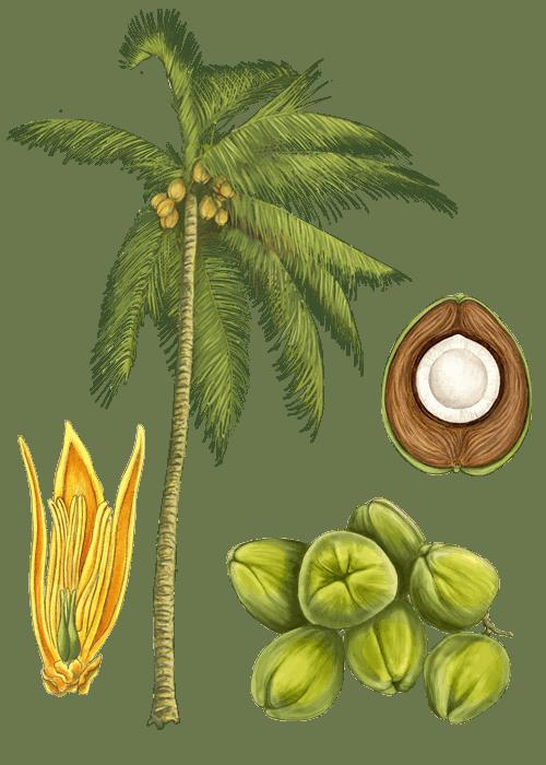 Botanical / Illustration von Kokoschips