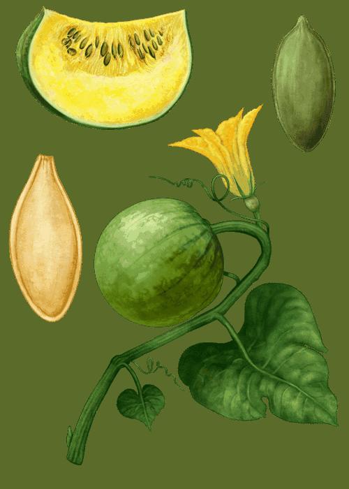Botanical / Illustration von Kürbiskerne