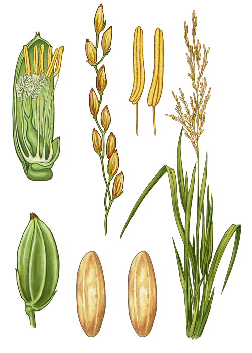 Botanical / Illustration von Langkorn Naturreis
