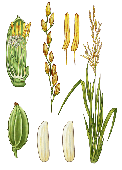 Botanical / Illustration von Parboiled Langkornreis