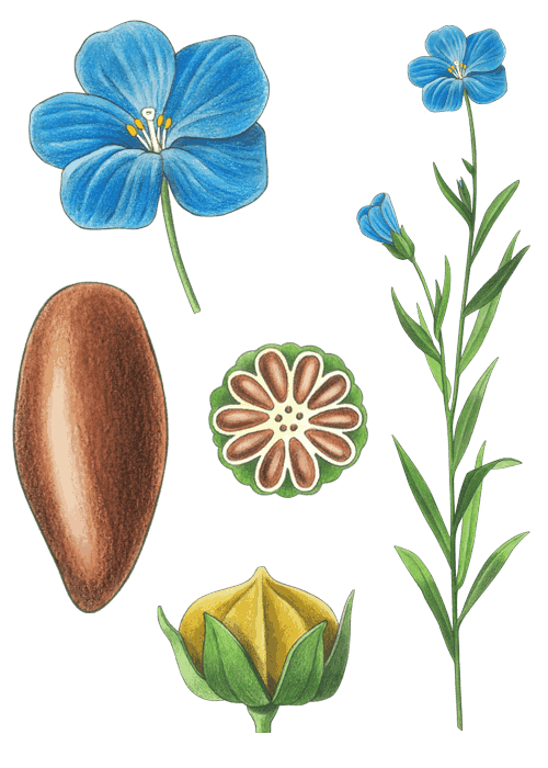 Botanical / Illustration von Leinsaat