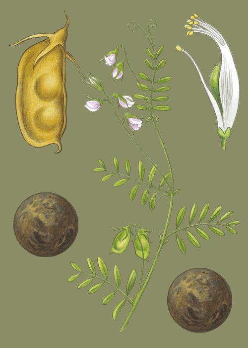 Botanical / Illustration von Linsen Provencal