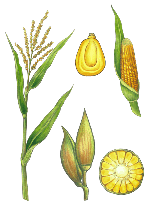 Botanical / Illustration von Popcorn