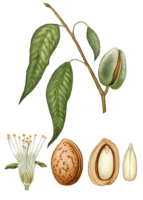Botanical / Illustration von Mandelkerne