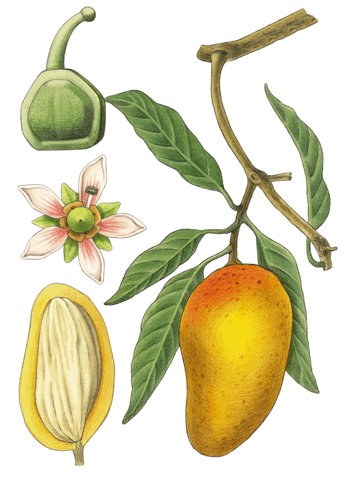 Botanical / Illustration von Mango