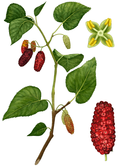Botanical / Illustration von Maulbeeren