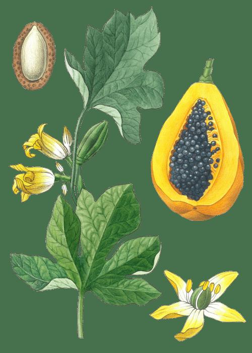 Botanical / Illustration von Papaya