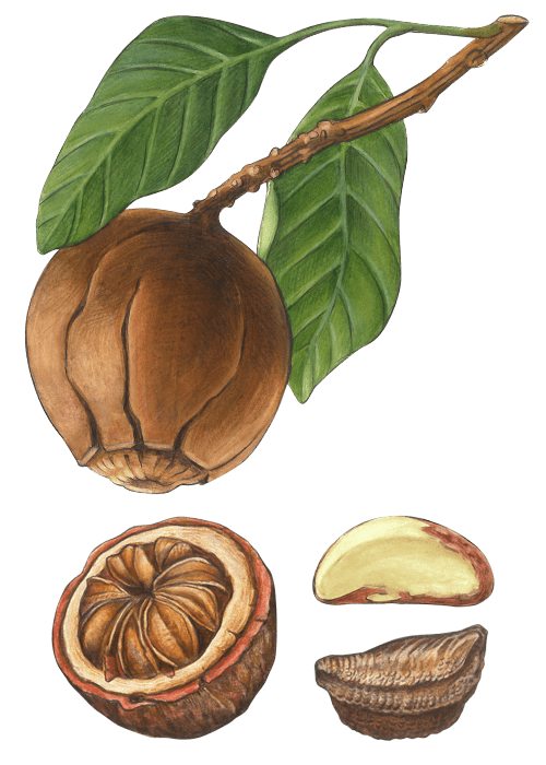 Botanical / Illustration von Paranusskerne