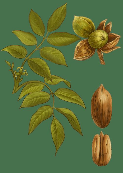 Botanical / Illustration von Pekannusskerne
