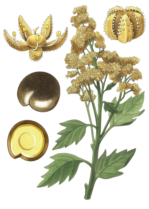 Botanical / Illustration von Quinoa