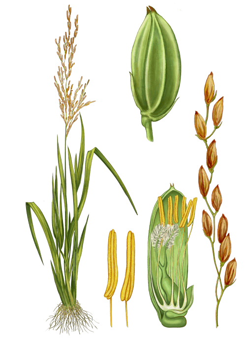 Botanical / Illustration von Reismehl