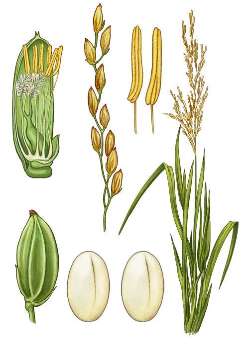 Botanical / Illustration von Risotto Reis