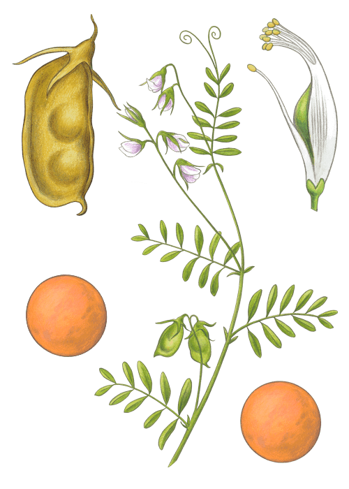 Botanical / Illustration von Linsen rot
