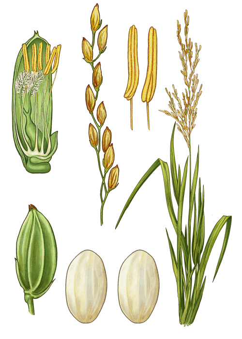 Botanical / Illustration von Parboiled Rundkornreis