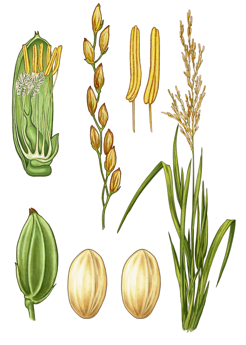 Botanical / Illustration von Camargue Naturreis