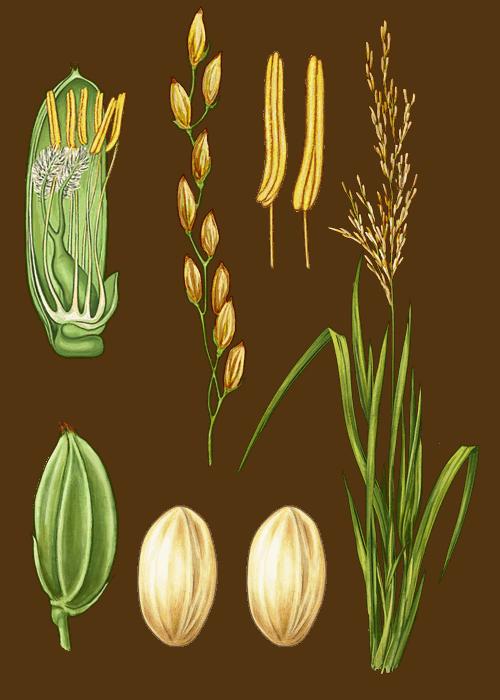 Botanical / Illustration von Rundkornreis