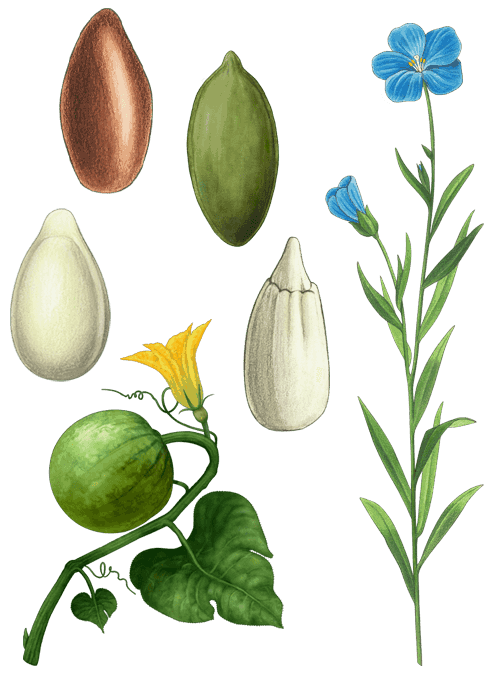 Botanical / Illustration von Samenmischung