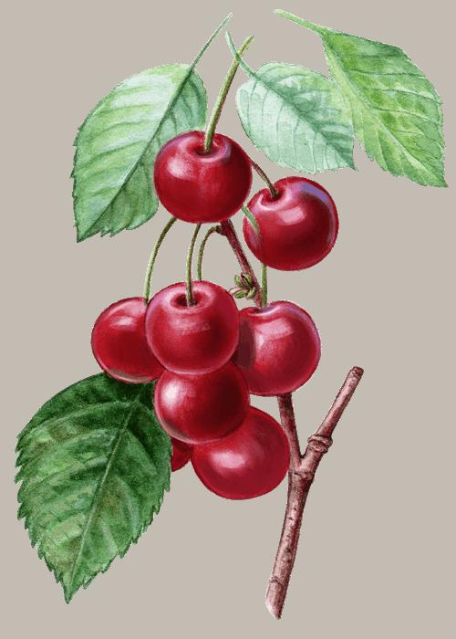 Botanical / Illustration von Fruchtliebe Sauerkirsche 75%