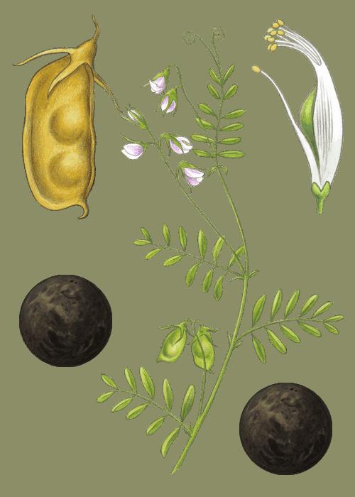 Botanical / Illustration von Linsen schwarz