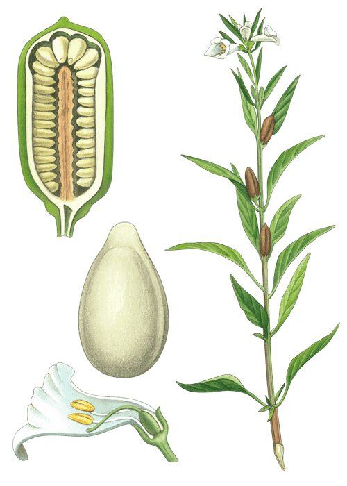 Botanical / Illustration von Sesamsaat
