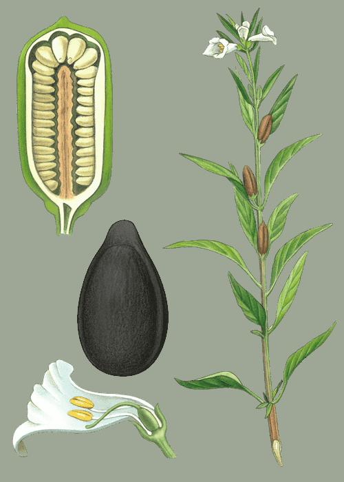Botanical / Illustration von Sesamsaat