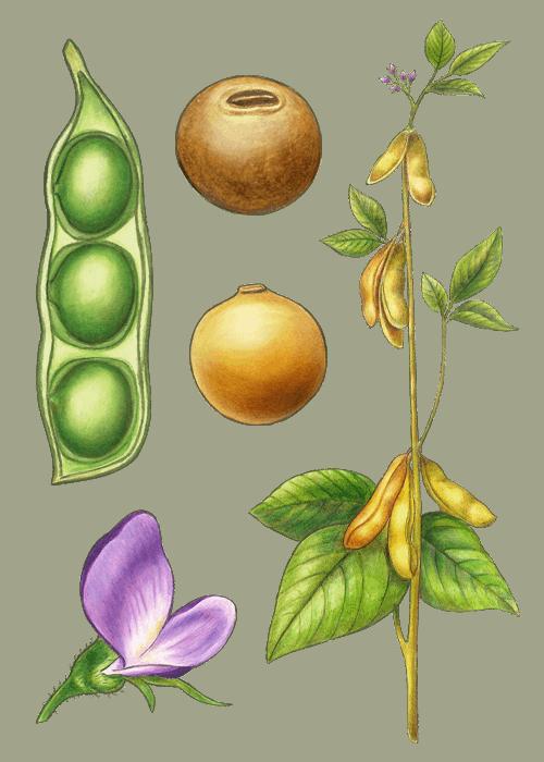 Botanical / Illustration von Sojakerne
