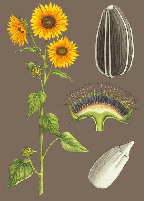 Botanical / Illustration von Sonnenblumenkerne